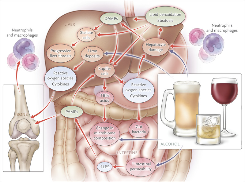 An illustration of what will happen to your organs if you consume alcohol